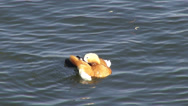 Stock Video Footage of Female Ruddy Shel duck pecking his feathers, exotic flying bird, migratory birds