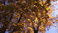 Stock Video Footage of Foliage, beautiful autumn, oak leaves, golden leaves, fall season, landscape