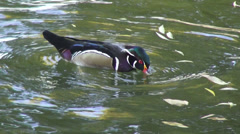 Cute male Wood duck, Carolina duck, exotic bird, perching duck looking for food Stock Footage