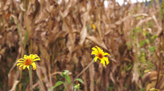 Dry Corn with Yellow Flowers Dolly - stock footage
