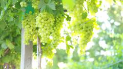 Fresh green grapes Stock Footage