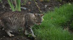 Grey cat eats grass Stock Footage