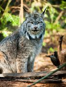 Wildcat lynx medium sized wild animal cat genus felis Stock Photos
