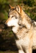 north american timberwolf wild animal wolf canine predator meat eater - stock photo