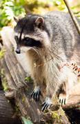 Villieläin pesukarhu saalistavat kaatunutta puuta nature wildlife coon omnivore Kuvituskuvat