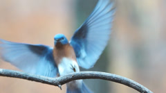 Bluebird Male Regurgitating Stock Footage