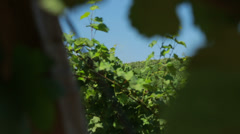 Green vines Stock Footage