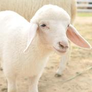 Cute little young sheep in farm, square size Stock Photos