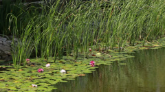 Lilies and water-lilies on water with stones Stock Footage