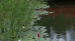 Pink lilies and water-lilies Stock Footage