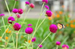 Group of amaranth in gardening with butterfly. Stock Photos