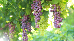 Purple grape clusters are large Stock Footage