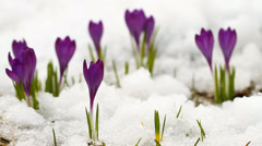 Spring crocuses in the snow Stock Footage