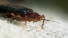 Bedbug bloodsucker sitting cushion Stock Footage