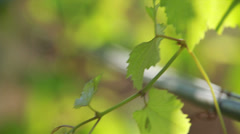 Pipe with water hanging on the vine Stock Footage