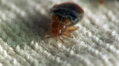 Stock Video Footage of Bedbug bloodsucker sitting cushion