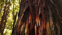 Close-up Redwood tree. Stock Footage