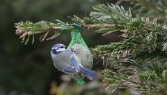 Blue tit feeding on bird fat ball in winter. Stock Footage