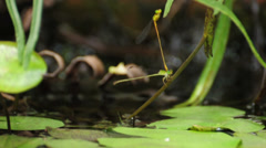 Endophytic oviposition of dragonfly in tandem position. Stock Footage