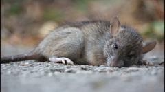 Almost dead rat Stock Footage