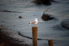 Ring-billed gull on the lookout Stock Photos