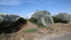Plastic net protects fruits of citrus trees from hail, frost, rain Stock Footage