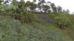 Flying over a field of Cassava (Manihot esculenta) Stock Footage
