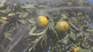 Stock Video Footage of Plastic net protects fruits of citrus trees from hail, frost, rain