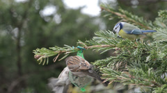 Blue tit and starling feeding on bird fat ball in winter. Stock Footage