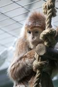 Apina Kuvituskuvat