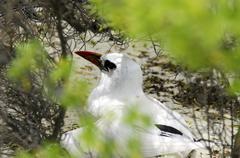 Red-billed tropicbird - aitutaki lagoon cook islands Stock Photos