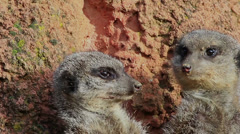 Meerkats - stock footage