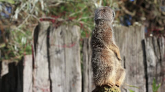 Meerkat close up Stock Footage