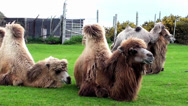 Stock Video Footage of Camels