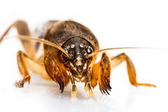 isolated mole cricket - stock photo