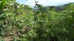 Field of Cassava (Manihot esculenta) Stock Footage