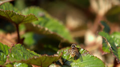 Wasp flying off a green leaf - stock footage