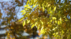 Autumn leaves fluttering in the wind in Ginza, Tokyo Stock Footage