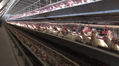 Chickens Feeding NTSC 04 Stock Footage