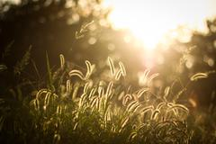 back lighting of bristle grass - stock photo