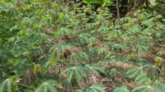Field of Cassava (Manihot esculenta) Stock Footage