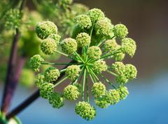 angelica plan. close-up - stock photo