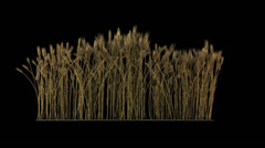 looped line of wheat on the wind, isolated on black background with alpha - stock footage
