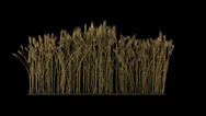 Looped line of wheat on the wind, isolated on black background with alpha Stock Footage