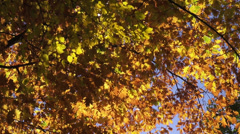 Foliage, beautiful autumn, oak leaves, golden leaves, fall season, landscape Stock Footage