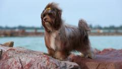 Cute chocolate Havanese dog is standing in a harbor in wind Stock Footage