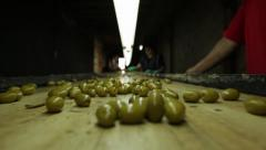POV of Olives on Conveyor Belt in Olive Farm Stock Video Stock Footage