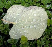 Overturned leaf with dew drops on the hedge Stock Photos