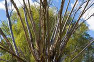 Stock Photo of dry willow