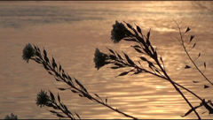 Stock Video Footage of flowers, river, sunset